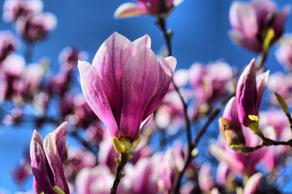 pink, magnolia, flowers